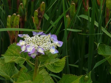 あやめの里 額紫陽花 1