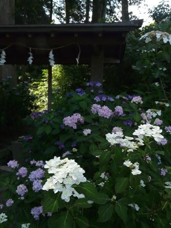 惣河内神社・山紫陽花 「富士の滝」 2