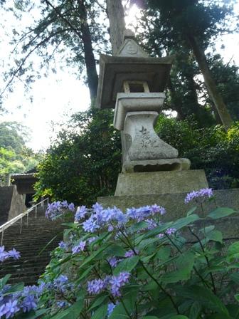 惣河内神社・山紫陽花 「美方八重」 2