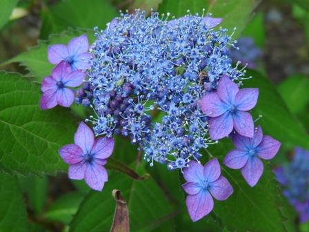 惣河内神社・山紫陽花 「藍姫」