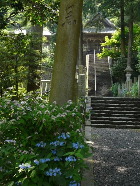 惣河内神社・山紫陽花 「美方八重」 と 「あけぼの」