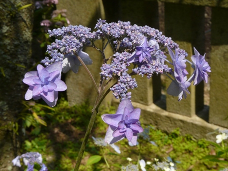 惣河内神社・山紫陽花 「深山八重紫」 1