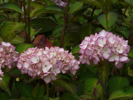 白猪屋菖蒲園 紫陽花 1