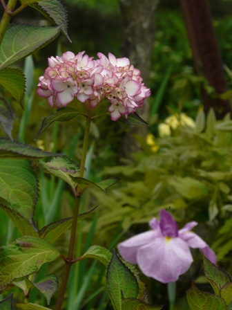 白猪屋菖蒲園 紫陽花 2