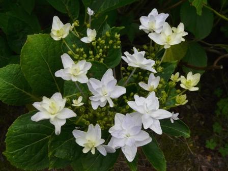白猪屋菖蒲園 紫陽花・隅田の花火