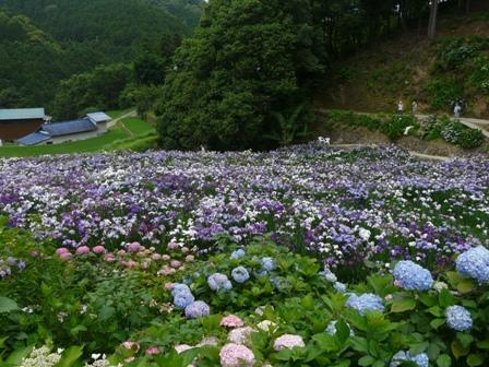 稲積花菖蒲園 1
