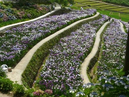 稲積花菖蒲園 4