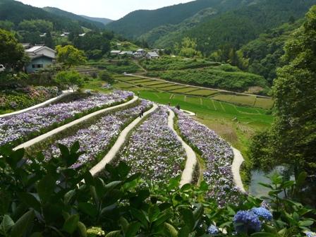 稲積花菖蒲園 5