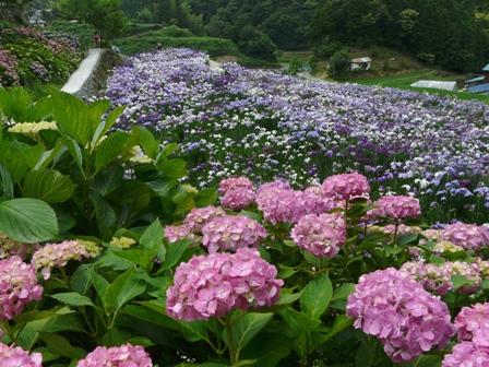 稲積花菖蒲園 8