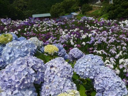 稲積花菖蒲園 9
