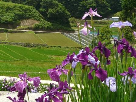 稲積花菖蒲園 15