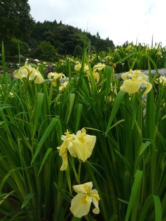 稲積花菖蒲園 14