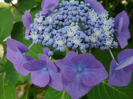 ひょこたん池公園 紫陽花 4