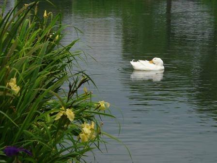 ひょこたん池公園 キショウブ と アヒル