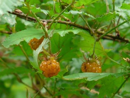 風穴 ナガバノモミジイチゴの実