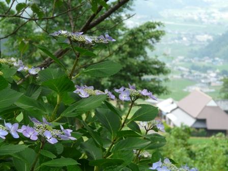 紫陽花風景 3