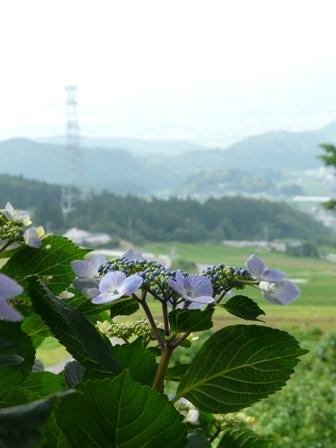 紫陽花風景 1