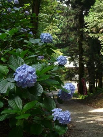 高縄寺 紫陽花 1