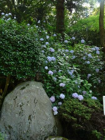 高縄寺 紫陽花 2