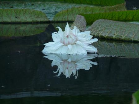 オオオニバスの花 1