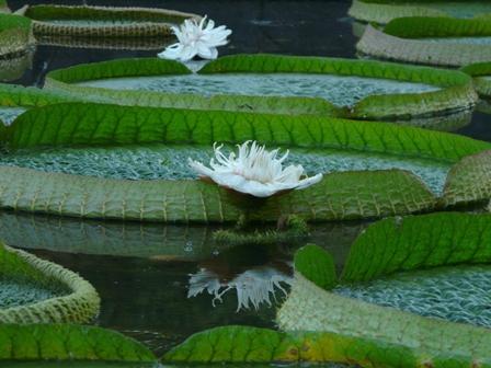オオオニバスの花 5