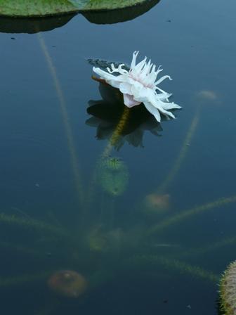 オオオニバスの花 3