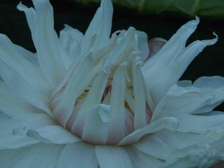 オオオニバスの花 8