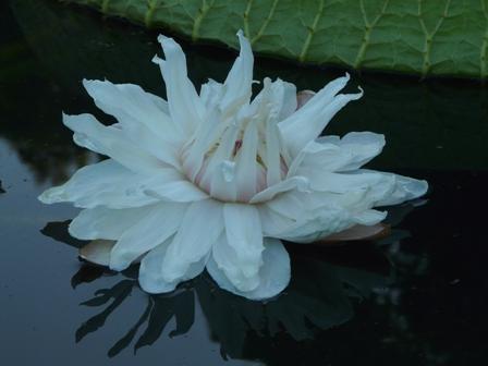 オオオニバスの花 7