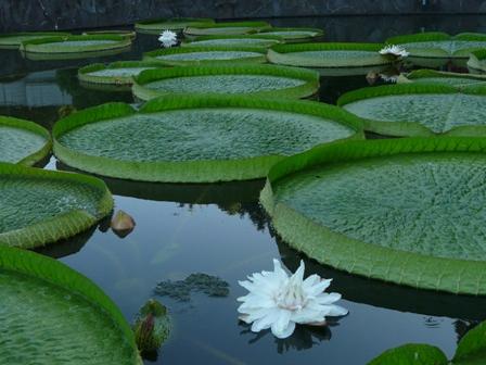 オオオニバスの花 9