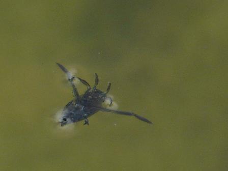 風穴付近 マツモムシ 1