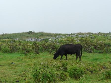 四国カルスト 牛のいる風景