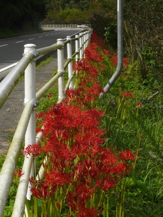 日浦地区 道路沿いの彼岸花