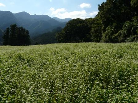 久谷のソバ畑 1