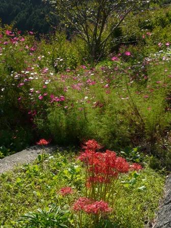 栗の里公園 彼岸花とコスモス