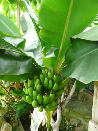 栗の里公園 フラワーハウス バナナの実 1
