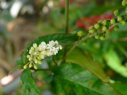 栗の里公園 フラワーハウス 白い花と赤い実の植物 2