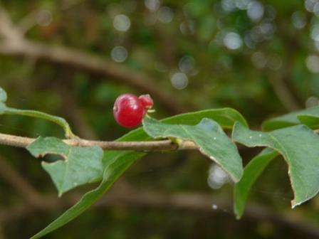森の交流センター ヒョウタンボクの実