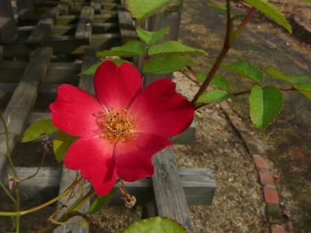 森の交流センター バラ 3