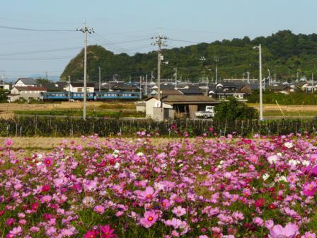 浅海原のコスモス 7