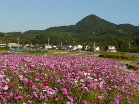 浅海原のコスモス 1