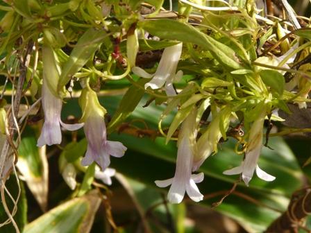 ホソバツルリンドウ 2
