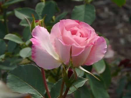 かわら館のバラ 2