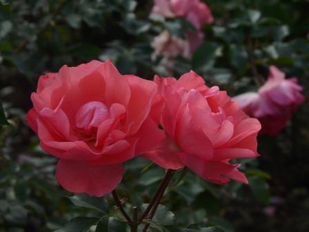 かわら館のバラ 3