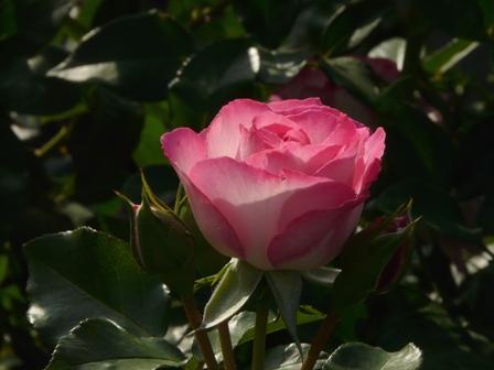 かわら館のバラ 4