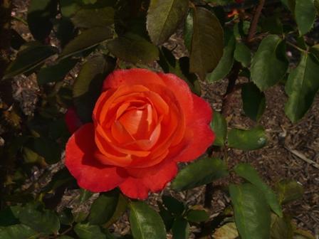 かわら館のバラ 5