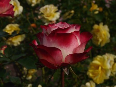 かわら館のバラ 6