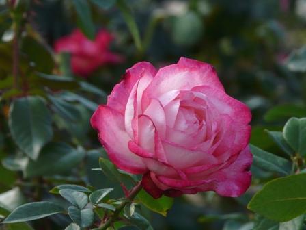 かわら館のバラ 8