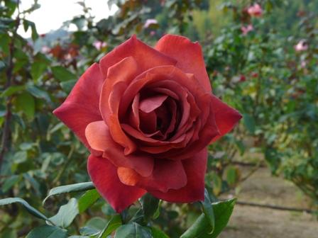 かわら館のバラ 9