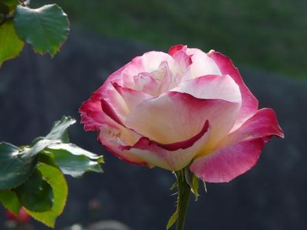 かわら館のバラ 10