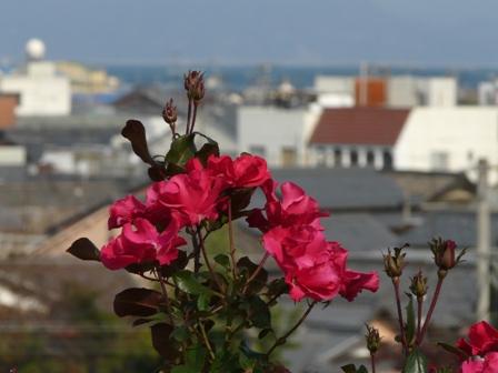 かわら館のバラ 17